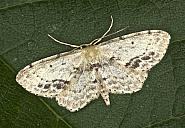 70.011 Single-dotted Wave, Idaea dimidiata, Co Louth