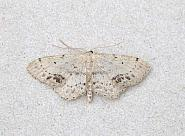 70.011 Single-dotted Wave, Idaea dimidiata, Co Wicklow