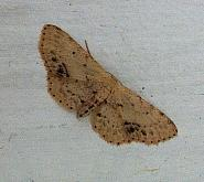 70.011 Single-dotted Wave, Idaea dimidiata, Co Cork