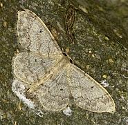 70.013 Small Fan-footed Wave, Idaea biselata, Co Louth