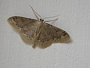 70.013 Small Fan-footed Wave, Idaea biselata, Co. Clare