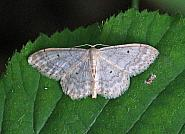 Small Fan-footed Wave, Idaea biselata, Co Leitrim