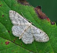 Small Fan-footed Wave, Idaea biselata, Co Donegal