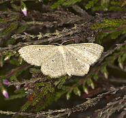 Lesser Cream Wave, Scopula immutata, Co Louth
