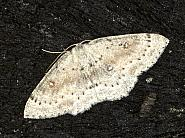 70.032 Birch Mocha, Cyclophora albipunctata, Co Louth