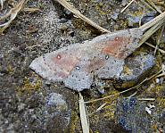 70.032 Birch Mocha, Cyclophora albipunctata, Co Sligo