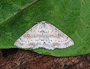 70.032 Birch Mocha, Cyclophora albipunctata, Co Leitrim