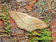 70.037 Clay Triple-lines, Cyclophora linearia