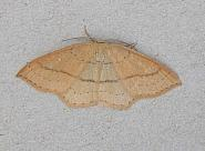 70.037 Clay Triple-lines, Cyclophora linearia, Co Wicklow