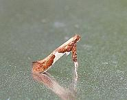 15.010 Caloptilia stigmatella, Co Donegal