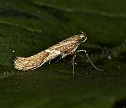 15.010 Caloptilia stigmatella, Co Louth