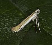 15.015 Aspilapteryx tringipennella, Co Louth