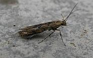15.019 Acrocercops brongniardella, Co. Meath