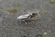 15.067 Phyllonorycter rajella, Co. Meath