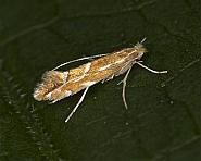 15.053 Firethorn Leaf Miner, Phyllonorycter leucographella, Co Louth