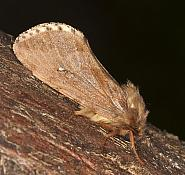 Map-winged Swift, Korscheltellus fusconebulosa, Co Louth
