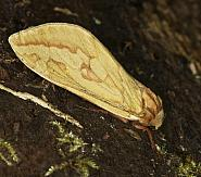3.005 Ghost Moth, Hepialus humuli, Co Louth