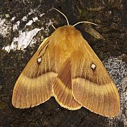 66.007 Oak Eggar, Lasiocampa quercus, Co Louth