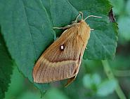 66.007 Oak Eggar Lasiocampa quercus, Co Sligo