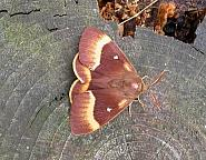 66.007 Oak Eggar, Lasiocampa quercus, Co. Meath