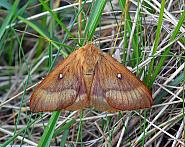 Oak Eggar, Lasiocampa quercus, Co Donegal