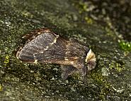 66.001 December Moth, Poecilocampa populi, Co Louth