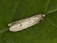 30.003 Pseudatemelia josephinae, Co Louth