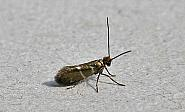 1.004 Micropterix aruncella, Co Wexford