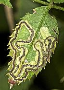 4.015 Stigmella anomalella, Rose Leaf Miner, Co Louth