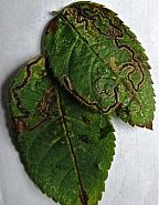 4.015 Stigmella anomalella, Rose Leaf Miner, Co Cork