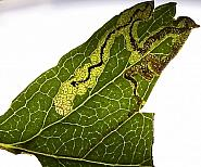 4.023 Stigmella crataegella, Co Louth