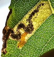 4.035 Stigmella salicis, Co Louth