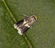 4.038 Stigmella obliquella, Co Louth