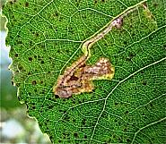 4.039 Stigmella trimaculella, Co Cork