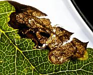 4.041 Stigmella sorbi, Co Louth