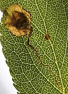 4.042 Stigmella plagicolella, Co Louth