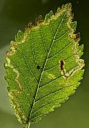 4.043 Stigmella lemniscella, Co Louth