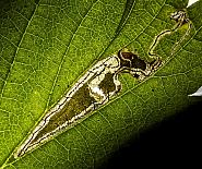 4.047 Stigmella splendidissimella, Co Louth