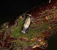 4.007 Stigmella luteella, Co Louth
