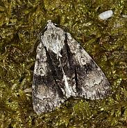 73.036 Alder Moth, Acronicta alni, Co Louth