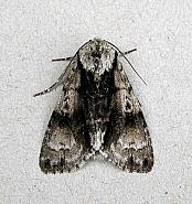 73.036 Alder Moth, Acronicta alni, Co Wicklow