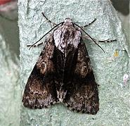 73.036 Alder Moth, Acronicta alni, Co Cork