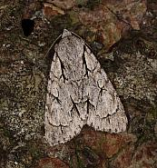 Grey Dagger, Acronicta psi , Co Louth