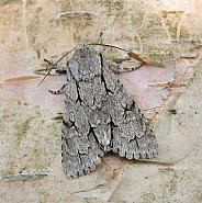 73.038 Grey Dagger, Acronicta psi, Co Wicklow