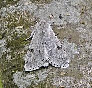73.04 Miller, Acronicta leporina, Co Wicklow