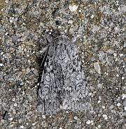73.044 Sweet Gale Moth Acronicta euphorbiae