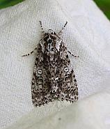 Knot Grass, Acronicta rumicis, Co Donegal