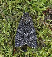 Knot Grass, Acronicta rumicis, Co Leitrim