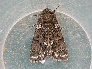Knot Grass, Acronicta rumicis, Co. Cork
