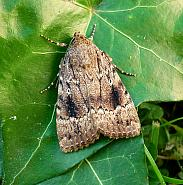 Amphipyrinae: Copper Underwings & Mouse Moth (73.062-73.064)